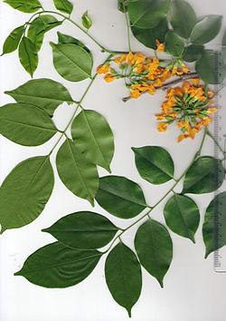 lá và hoa gỗ giáng hương